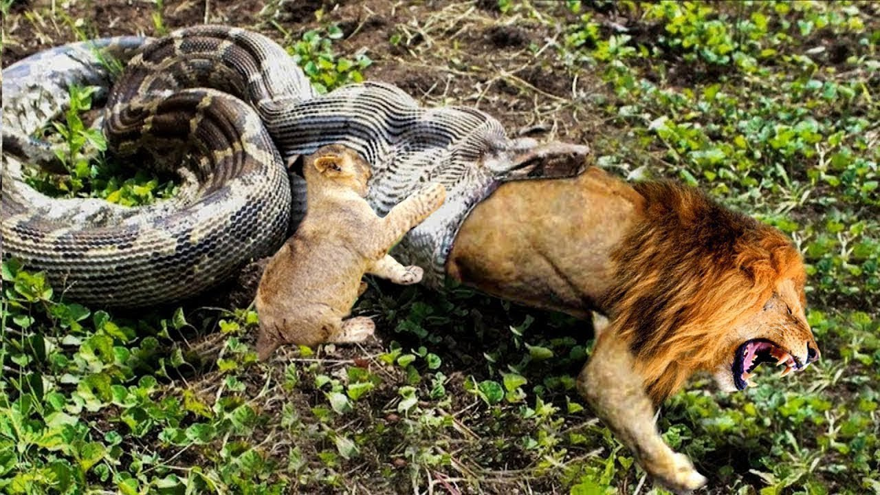 Download Python is too aggressive, Lion Cub mistakes when challenged - The result of Lion Cub