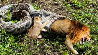 Python Is Too Aggressive Lion Cub Mistakes When Challenged   The Result Of Lion Cub