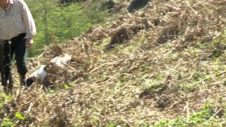 Springer Spaniel Stud - Oftw Beggarbush Taff Of Pantfarm -- 'max'