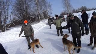 Фото Выставка охотничьих собак гончих пород.