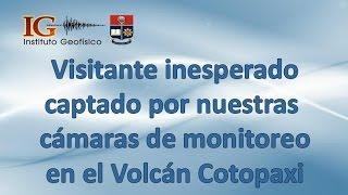 Visitante inesperado captado por nuestras cámaras de monitoreo en el Volcán Cotopaxi