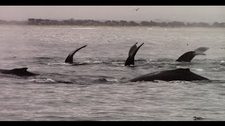 9.28.15 Humpback Whales & Common Dolphins #Monterey #Travel #Adventure