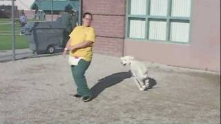 Spirit - Standard Poodle Available For Adoption