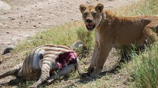 Lion eating fresh hunt Zebra   Serengeti Tanzania