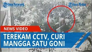 Curi Mangga Hingga Satu Goni, Aksi Pelaku Terekam Kamera CCTV