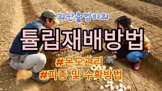 [튤립재배] 튤립재배방법:  구근파종부터 수확까지 온도…