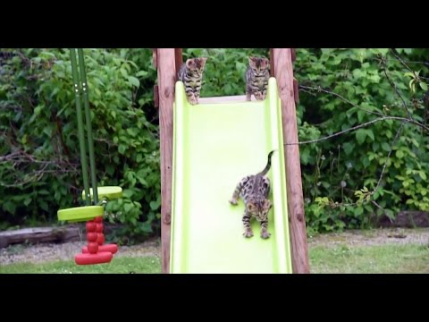 Bengal Kittens Discover The Best Toy Ever!