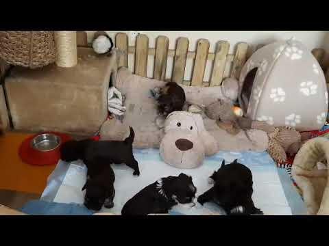 Havaneser Of The Farmfamily P Wurf 33 Tage Alt Youtube