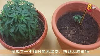 肃毒局义顺发现两盆大麻植物盆栽 两名新加坡男女被捕