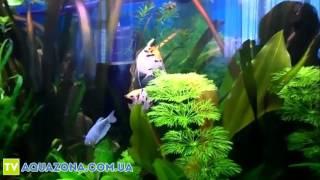 Скалярия трехцветная - красивые рыбки для аквариума купить