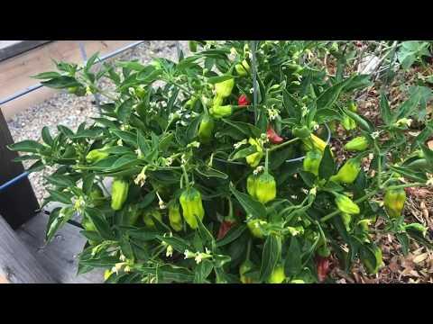 Shishito Pepper Plant