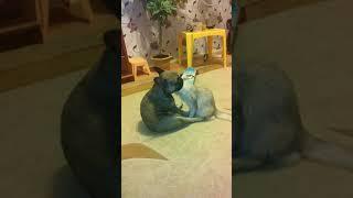 Французская бульдожка и сомалийская кошка