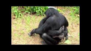 любовь шимпанзе