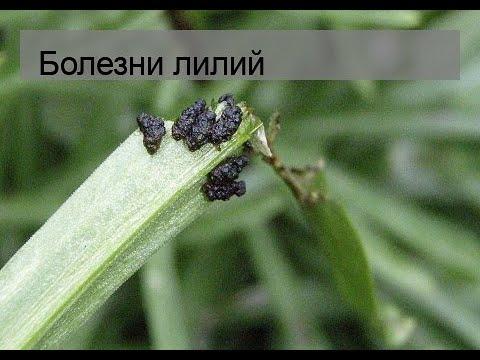 Болезни лилий