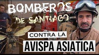 Bomberos de Santiago contra la avispa asiática [EDUCACIÓN AMBIENTAL]