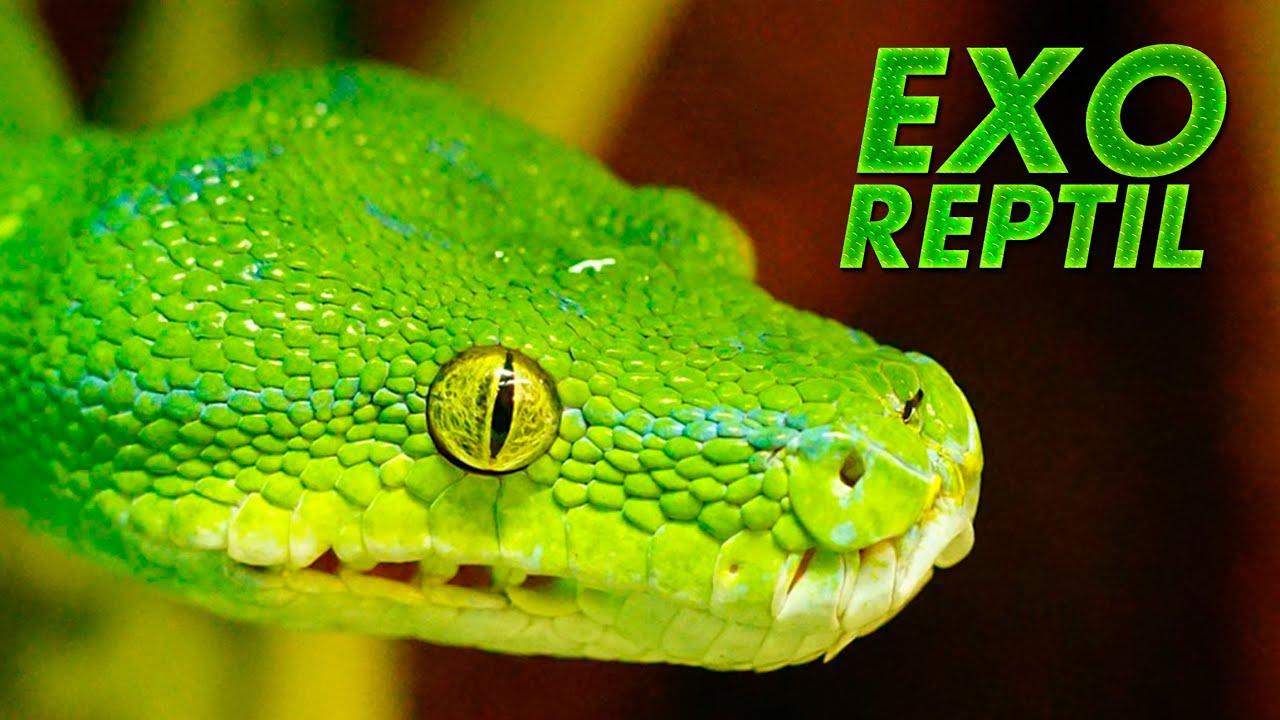 Exo Reptil - Pitón Verde de Arbol comiendo Ratón ( Alimentación de ...