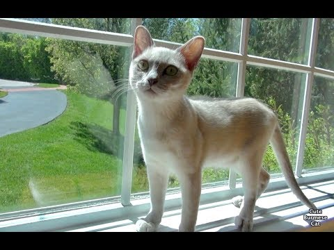 Cute Funny Cat Moments with Luna! Platinum Burmese Cat!