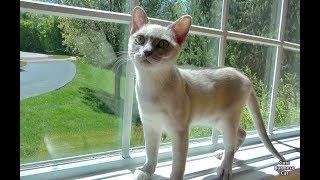 Cute Funny Cat Moments with Luna! Platinum Burmese Cat!
