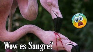 ¿Wow así los alimentan?🩸💉 😱 Qué Extraña Alimentación!!! ( Los Flamingos)