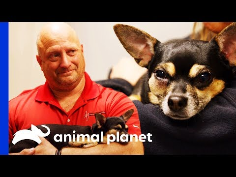 Missy The Chihuahua Gets Her Fractured Tooth Removed | The Vet Life