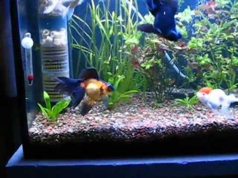 Mis goldfish acuario con plantas naturales youtube for Plantas para estanques de peces