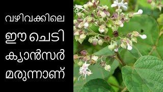 വഴിവക്കിലെ ഈ ചെടി ക്യാന്സര് മരുന്നാണ്||Health Tips Malayalam