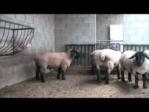 mouton suffolk (suffolk-des-ardennes)
