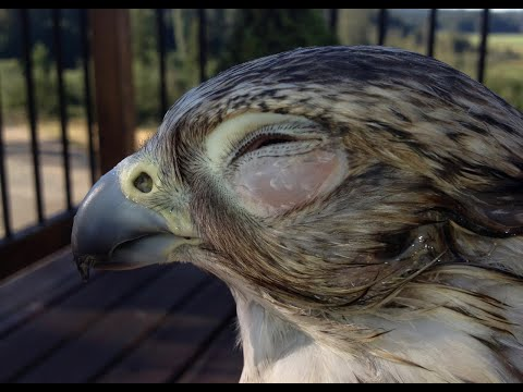HAWK FIELD INJURY?!✨ Bird FIRST AID, Equipment & Storytime   The Falconry Series