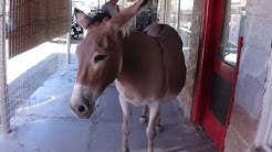 Historic Route 66 and the Wild Burros of Oatman, AZ