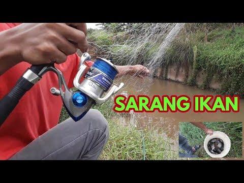 Sampe kuwalahan (mancing jaring/spring bom net) di sarang ikan mujair