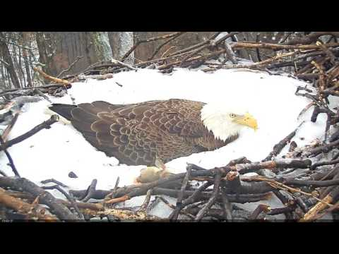 EAGLE CAM 2017- Liberty brings fish to nest for eaglets - ECC, MPDC - Washington, DC - #EggWatch2017