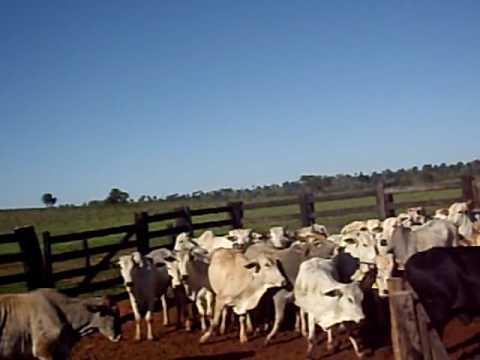 Fazenda 3 Irmãos Mato Grosso Do Sul (passando o gado no