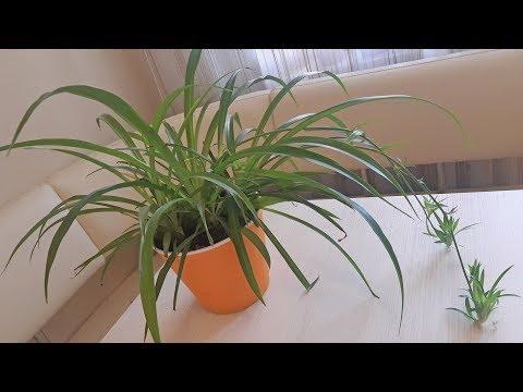 Хлорофитум - домашнее растение уход и цветение