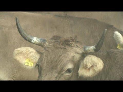 السويسريون يصوتون للحفاظ على -كرامة الماشية- أو قطع قرونها…  - نشر قبل 8 ساعة