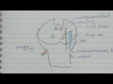 Blood Supply Of Brain,4 Ventricke,Brain Stem