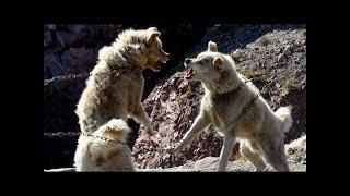 グリーンランド犬(グリーンランド:Kalaallit Qimmiat、デンマーク:グ...