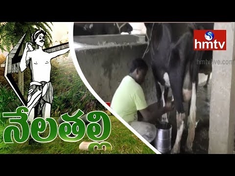 Dairy Farming -Success Story of Nalgonda Ideal Farmer | Nela Talli | HMTV