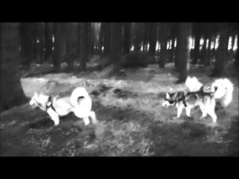 Native war dance husky style