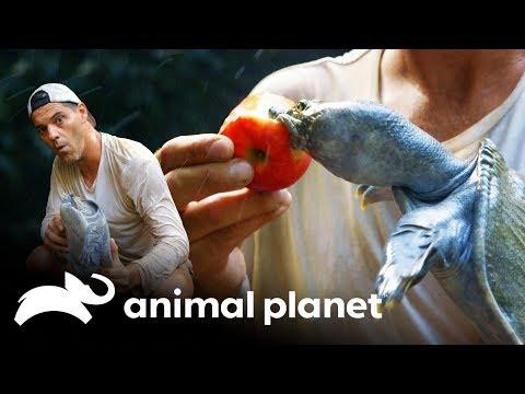 ¡La tortuga trompeta! | Wild Frank: En busca del dragón | Animal Planet