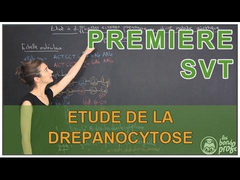 Etude à différentes échelles phénotypiques de la drépanocytose - SVT - 1ère S - Les Bons Profs