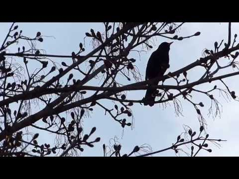 Crni Kos Merel Blackbird (sound test with Panasonic Lumix FZ200)