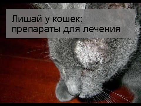 Вопрос: Может ли лишай у кошки пройти сам Как лечить?