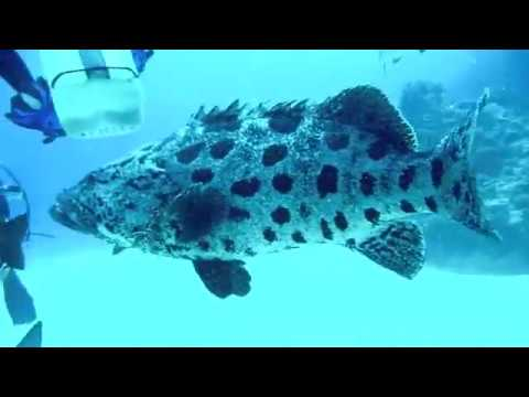 OzDive in Australia - Diving with Taka Dive / Potato Cod (2010)