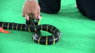 Jumping Snake, Viper & a Python Snake Show from Snake Farm - Bangkok