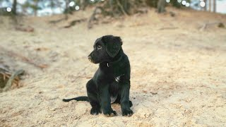 Meet the Hovawart dog breed. A puppy walk in the woods.
