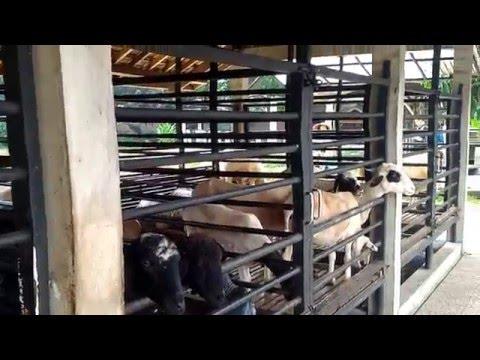 Cara beternak kambing dengan kandang yang baik