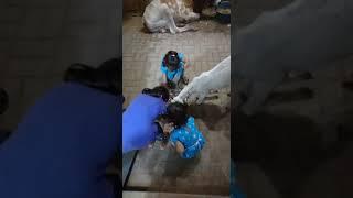 Bakra playing with kids   Bakra mandi 2021   Karachi cow mandi