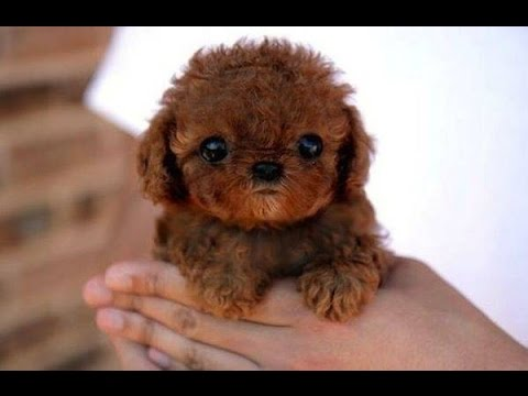 Top 10 Miniature Dog Breeds