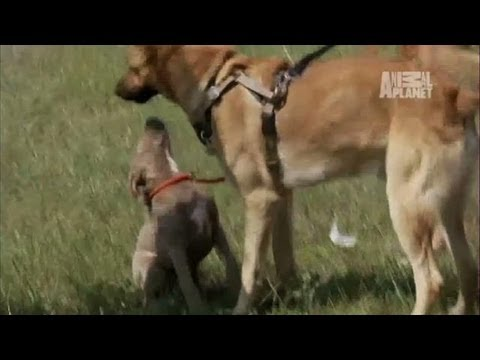 Puppy Love for Goliath? | Pit Bulls and Parolees