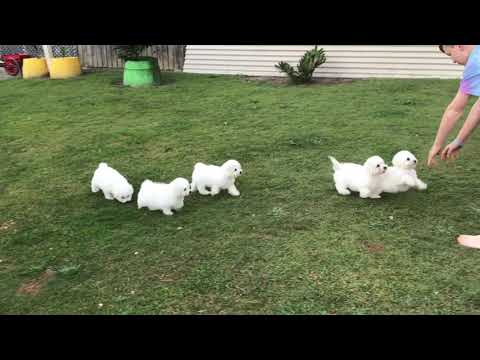 BICHON FRISE PURE BRED PUPPIES 10 WEEKS OLD 28/7/2019
